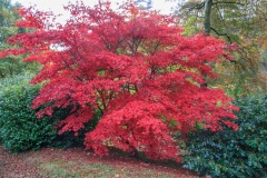 Maple Tree on the Castle Hill Estate