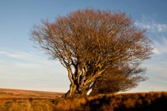 Beech tree on Exmoor near Challacombe