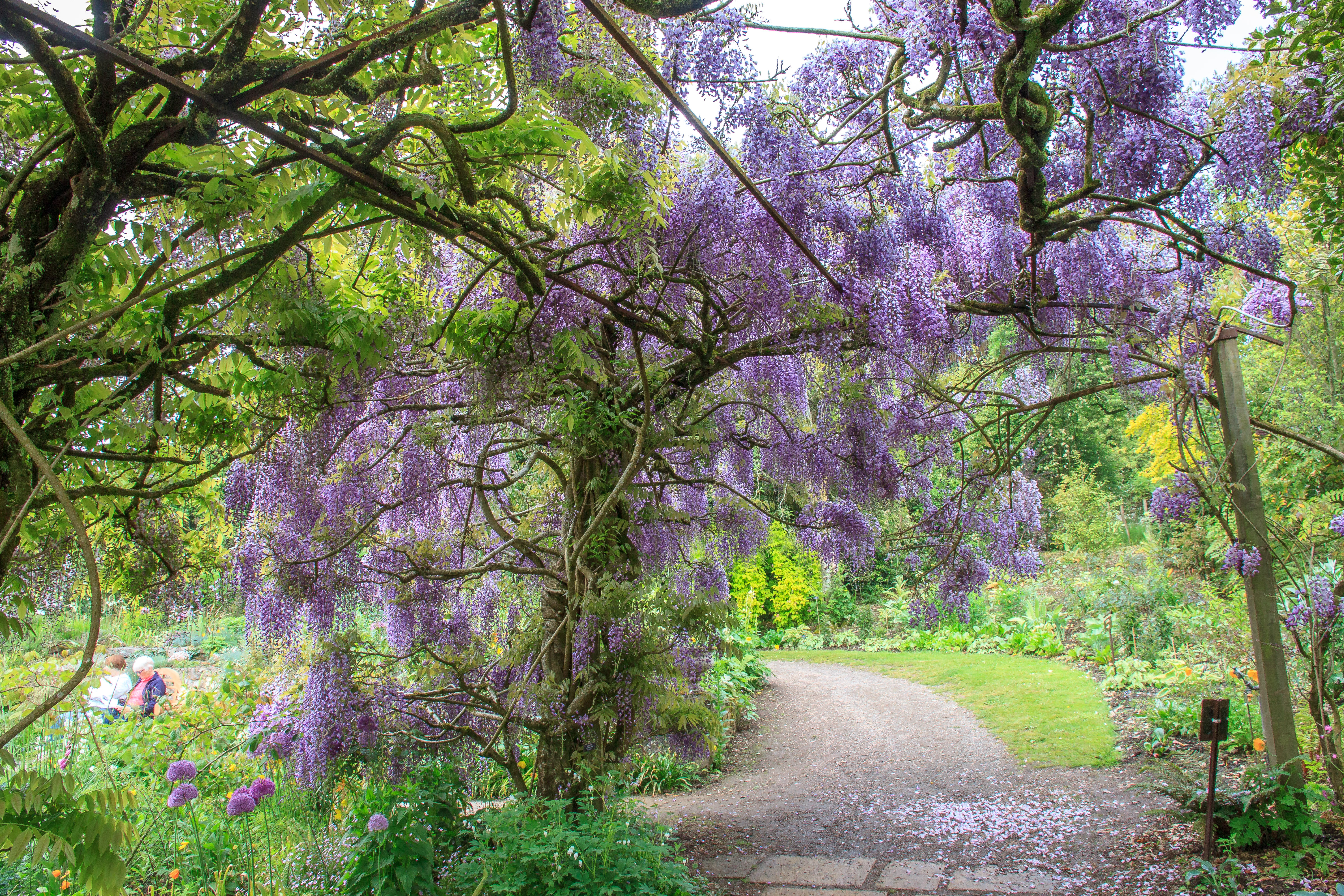 Wisteria at Marwood Hill Gardens
