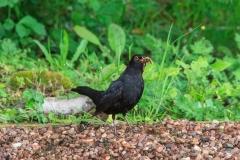 Blackbird at Marwood Hill Gardens