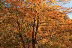 Tree on the East Lynn River in full autumn splendour. November 2013.