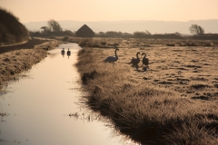 Swans on Braunton Marshes on a Frosty Morning
