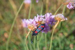 Six Spot Burnet Butterfly on Sea Thrift.