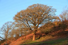 Tree lit by late afternoon sun near Brendon, Exmoor. December 2014