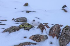 Ptarmigan in Allt a Mhuilinn (below north face of Ben Nevis)