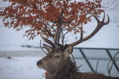 Stag outside Loch Ossian Youth Hostel