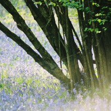 Bluebells in Prior's Wood near Bristol