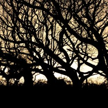 Trees silhouetted against the evening sky at Chapel Wood near Georgeham