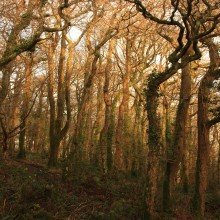 Trees in Chapel Wood capture the evening sun in January