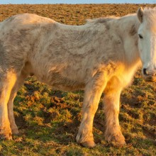 White pony on Saunton Down in the golden light of a February afternoon