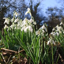 Snowdrops in the Wheddon Valley on Exmoor. February 2013.