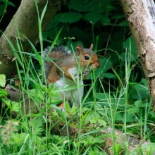 Squirel by the cafe at Watersmeet near Lynton