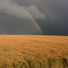 Rainbow and storm clouds over wheat field in August 2012. Taken at Pickwell near Georgeham.
