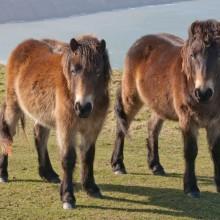 Exmoor Ponies on Woolacombe Down