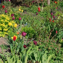 Tulips in the walled garden at Hartland Abbey. May 2013