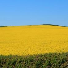 Field of Oil Seed Rape near Putsborough, May 2013