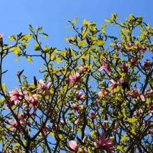 Magnolia tree, Marwood Hill Gardens, May 2013
