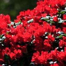 Azaleas at Marwood Hill Gardens, May 2013