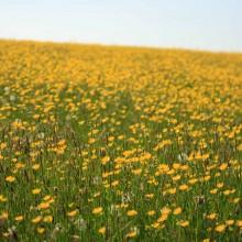 Golden field of buttercups! June 2013