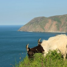 Goats with Foreland Point near Lynmouth in backround. June 2013