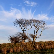 Pair of trees on Exmoor against whispy sky near Challacombe