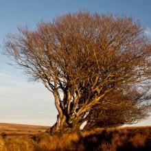 Beech tree on Exmoor near Challacombe