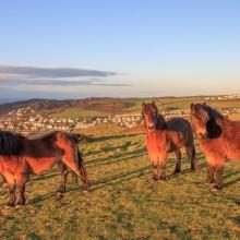 January: Ponies on Woolacombe Down
