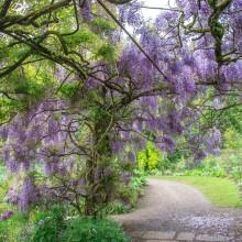 May: Wisteria at Marwood Hill Gardens