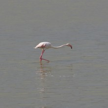 Flamingo at the Vendicari Nature Reserve on the coast south of Avola and Syracusa (South east Sicily)