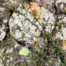 Another butterfly at Noto Antica