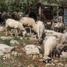 Sicilian sheep at Noto Antica