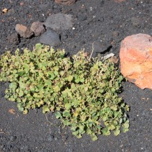 A rare plant on Mt Etna