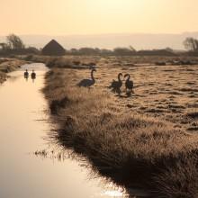 December: Swans on Braunton Marshes